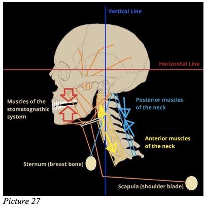 Stomatognathic teeth fulcrum
